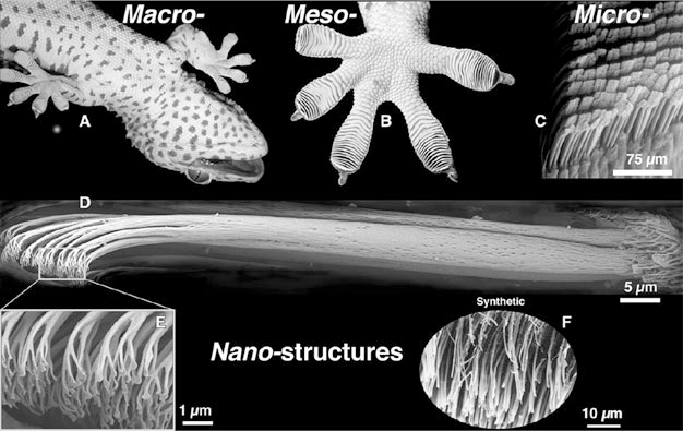 Figure: Adhesion structure of the gecko leg [B. Bhushan, Encyclopedia of Nanotechnology, 2016]
