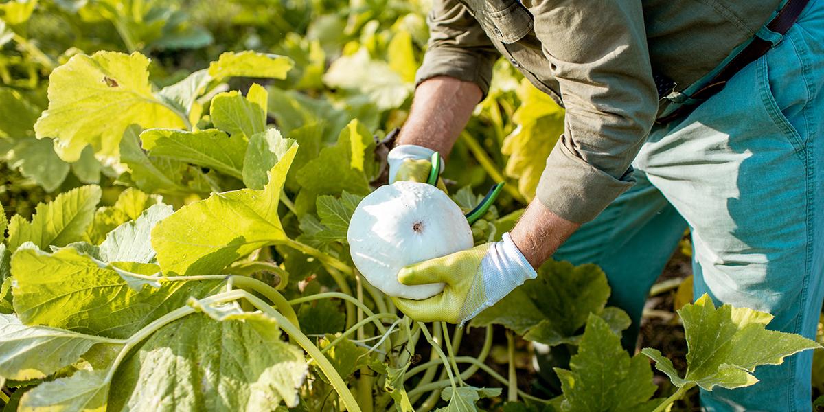 EM in Vegetable Cultivation